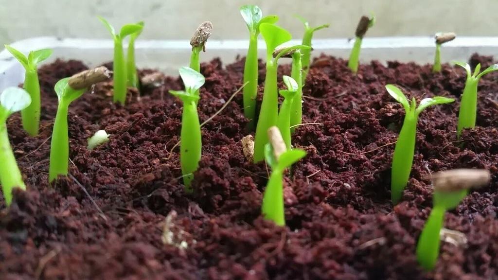 germinate adenium seeds